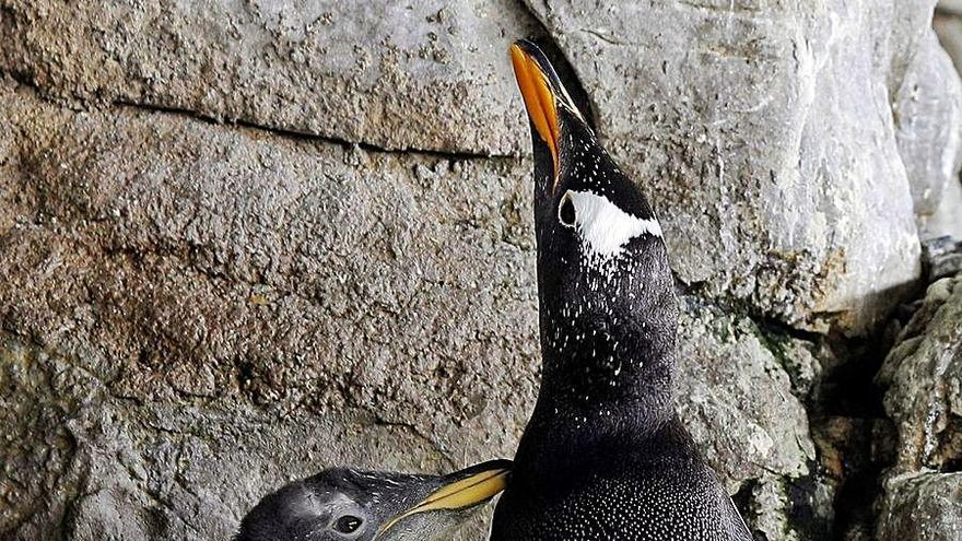 Una pareja de pingüinas del Oceanogràfic cria un pollo