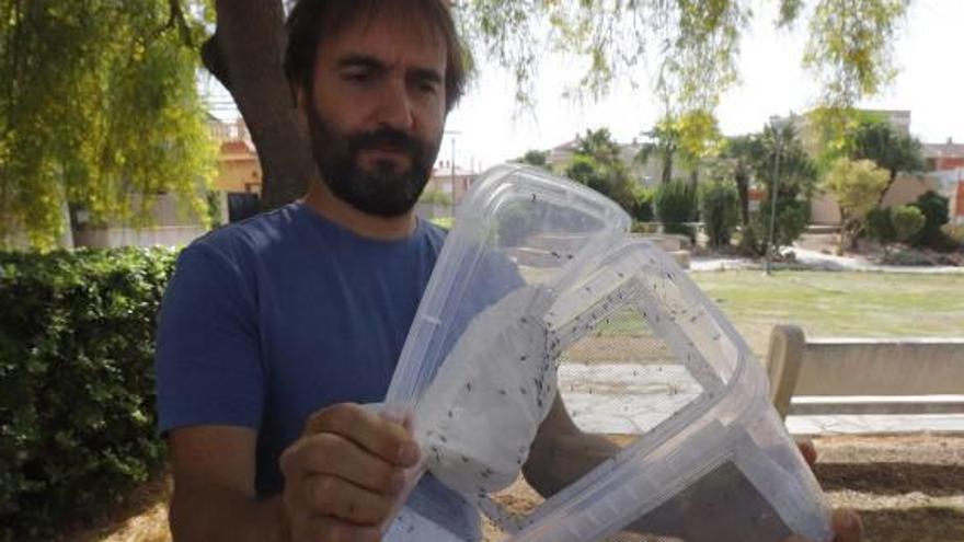La suelta de machos estériles reduce un 30 % la población de mosquito tigre en Polinyà