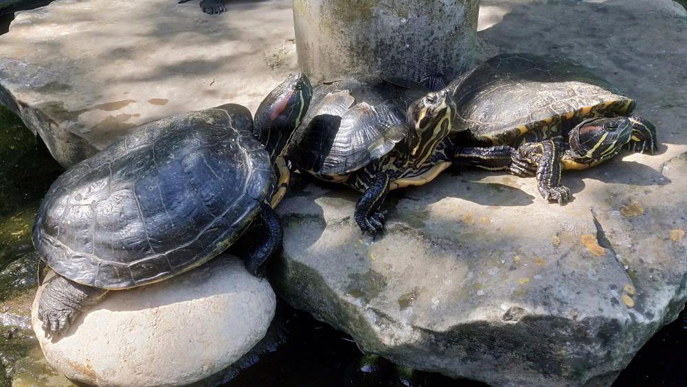 Tortugues. Les tortugues són rèptils protegits per una closca. Podem trobar les d'aigua i les terrestres (com les de la foto). Aquestes estan prenent el sol per escalfar-se, ja que són animals de sang freda
