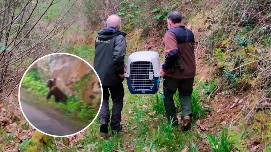 """¿Por qué se quedó solo el osezno rescatado en Asturias? Buscan a la familia del pequeño """"Yernes"""" para reintroducirlo"""