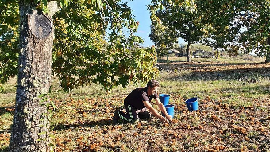 Francia, Italia y Portugal salvan la catastrófica campaña de castañas
