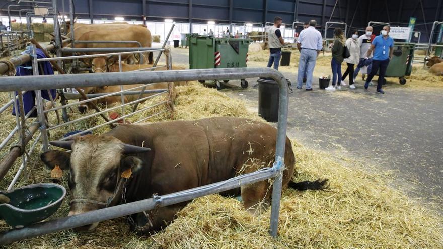La clausura de la hostelería hundió los precios del ganado en la Pola en 2020