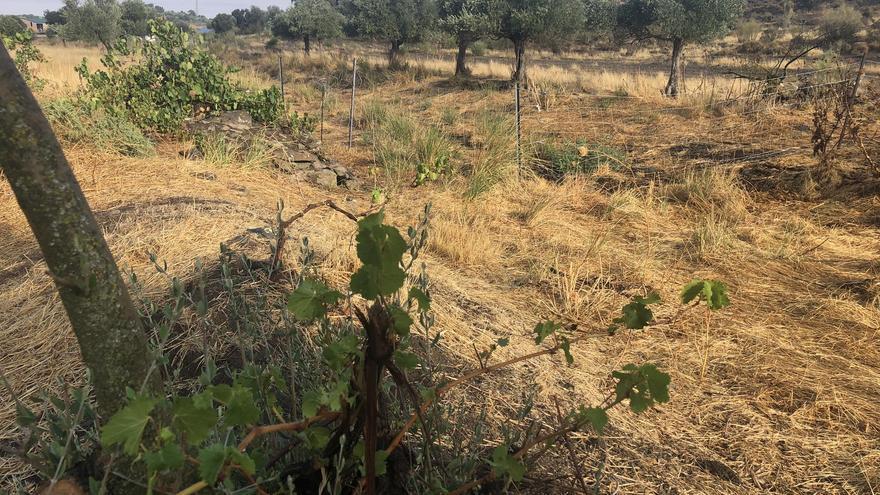 Estudio sobre los viñedos en Los Pedroches