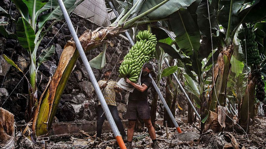 El volcán abre una vía para 'librar' al plátano de la ley alimentaria