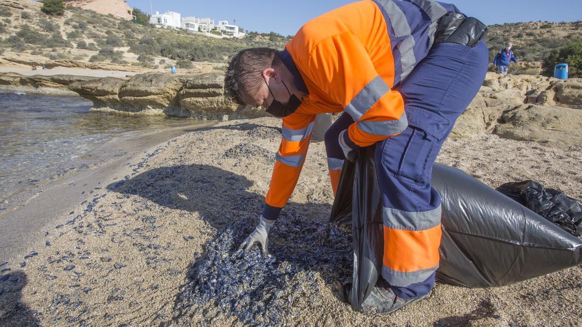 """""""Lágrimas del mar"""": así son las medusas velero que han llegado a Alicante"""