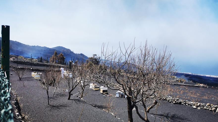 La resiliencia de las abejas frente al volcán de La Palma