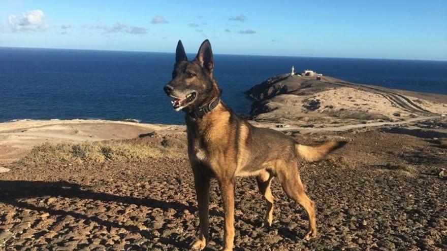 Dos perros de la Policía Nacional en Canarias se jubilan y buscan familia adoptiva
