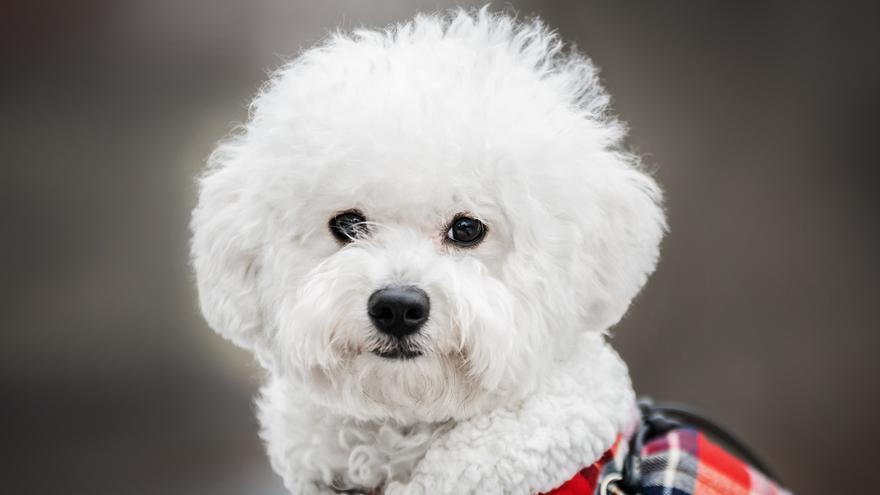 Cuidados del bichón maltés, todo para que tu perro luzca perfecto