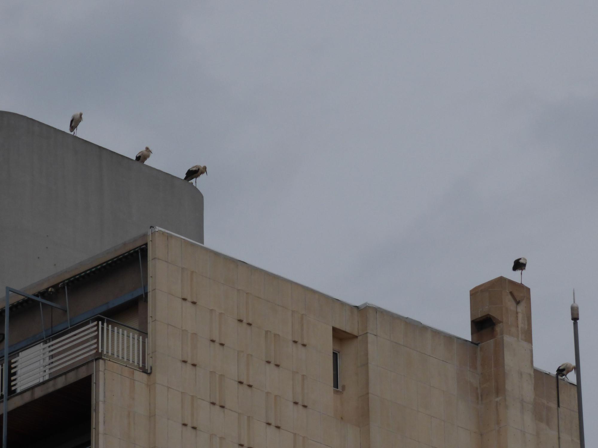 Un estol de cigonyes migradores fa parada a Figueres i els pobles dels voltants