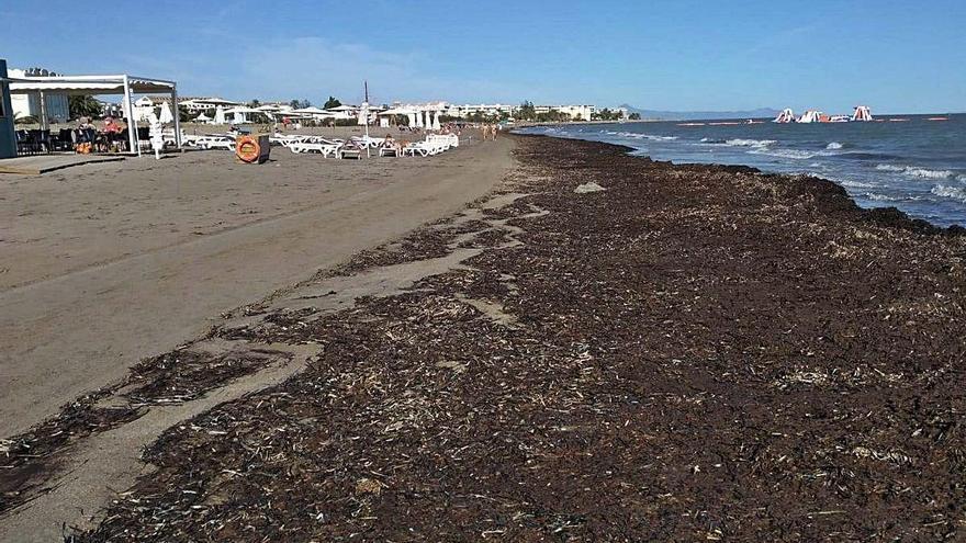 Dénia retira 900 toneladas de arribazones de posidonia