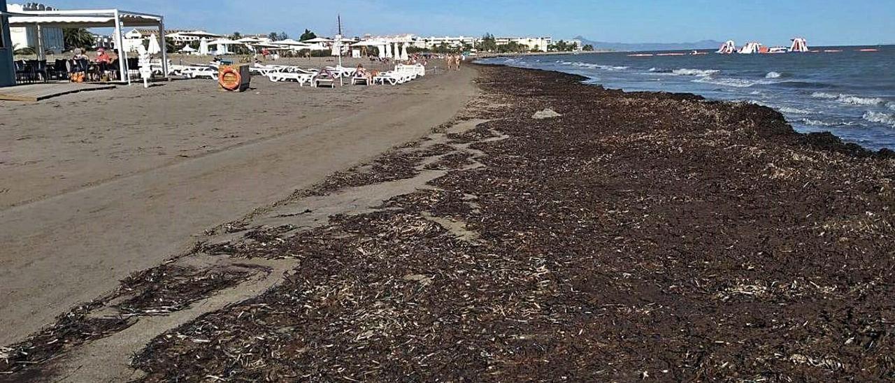 Arribazones de posidonia en la playa de la Punta del Raset.