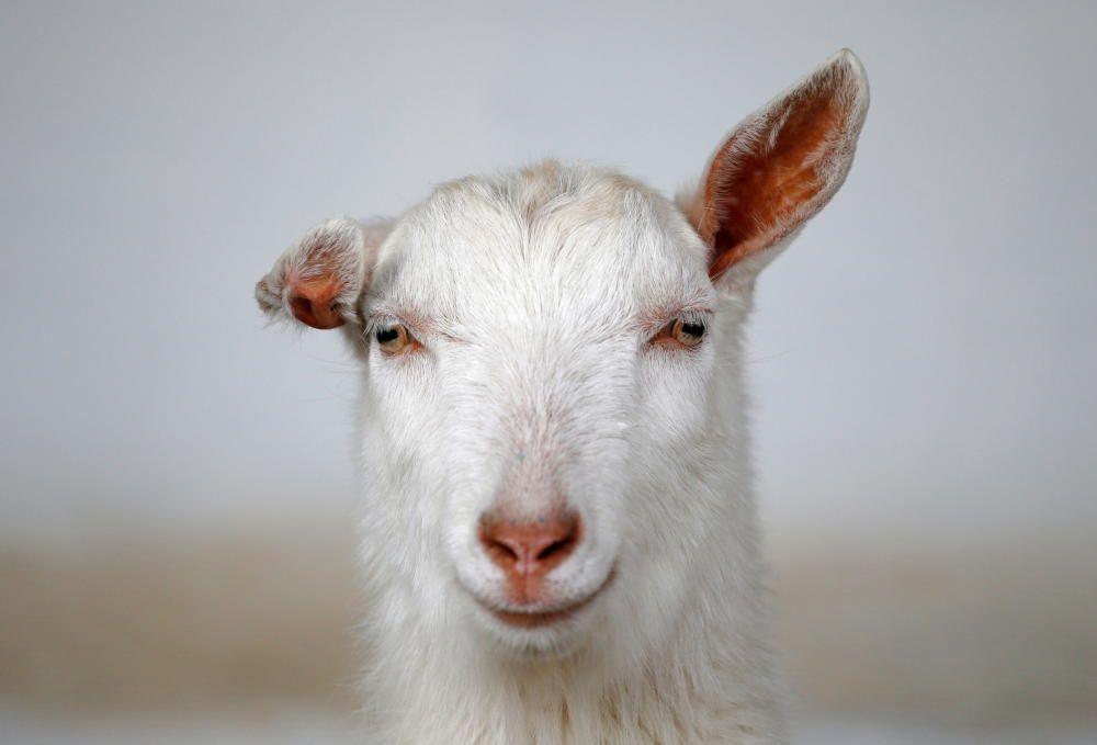 Una cabra en una granja rusa.