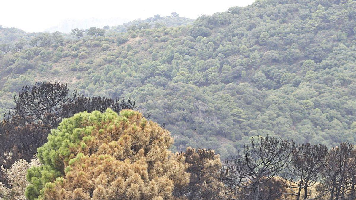 Las copas de algunos pinos no se han visto afectadas gracias a la defensa natural de esta especie.