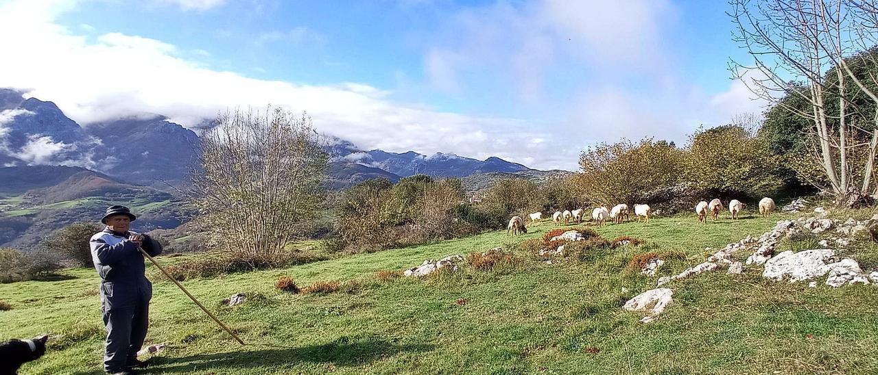 Pepe Mier, en los montes bajos de Asiegu,  en el municipio de Cabrales, con las ovejas al fondo.