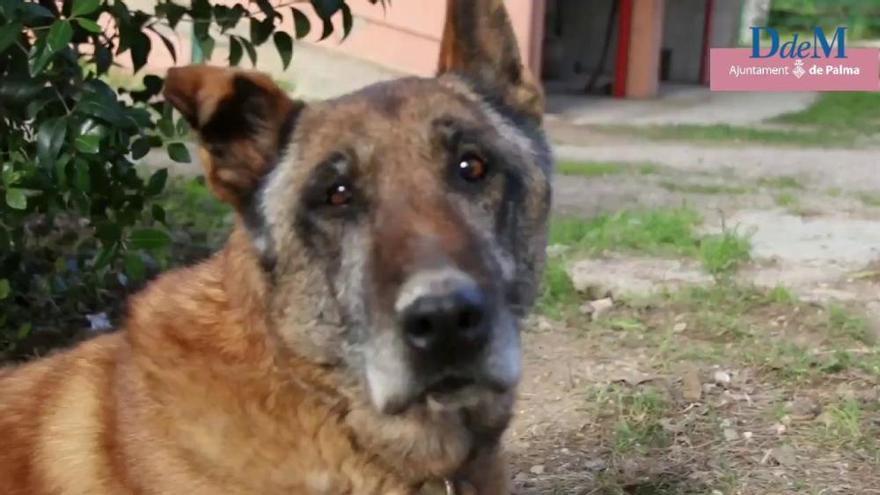 Verdienter Ruhestand: das neue Leben der Polizeihunde Budi und Max