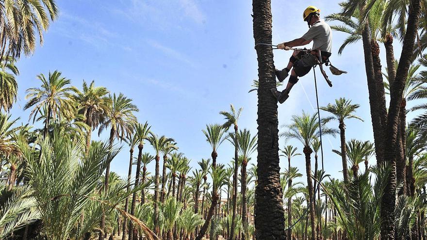 Elche empieza a podar 8.000 palmeras de la calle para frenar la caída de dátiles