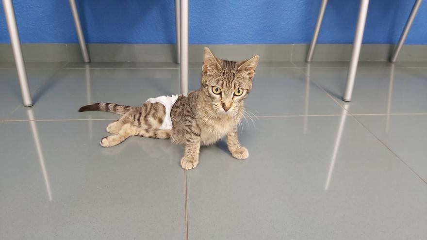 El gato Vulcano busca hogar tras sufrir un grave atropello en el Grau de Castelló