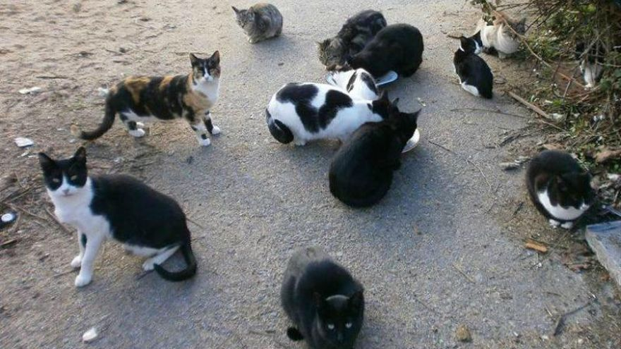 El plan de choque permite esterilizar a 75 gatos en Ontinyent en tres meses