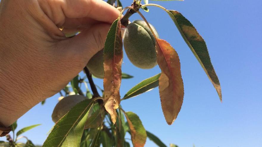Nuevo brote de la plaga que destroza almendros y olivos en la C. Valenciana