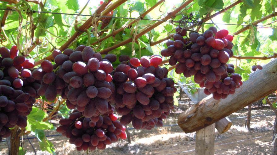 Carrefour prevé comprar un 8% más de uva española