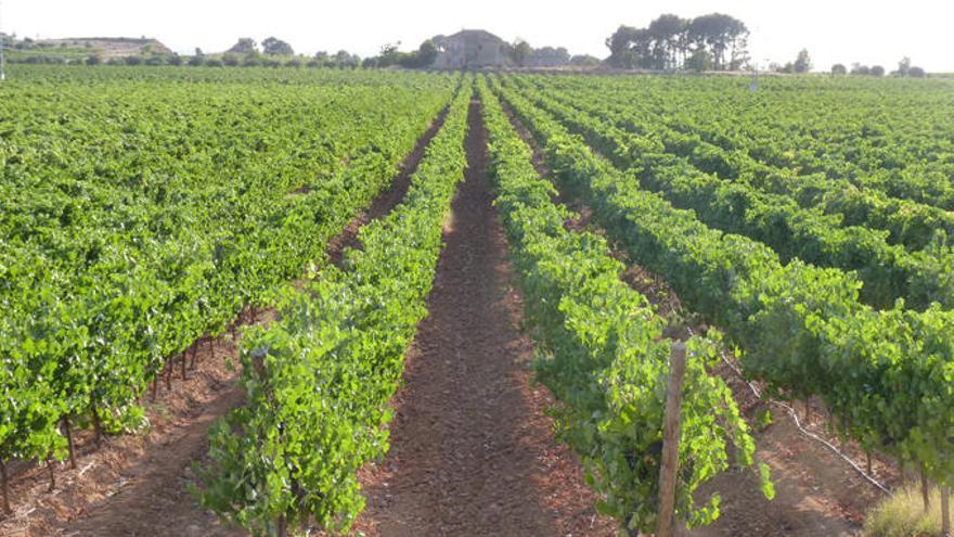 España pierde casi la mitad del viñedo en cuarenta años