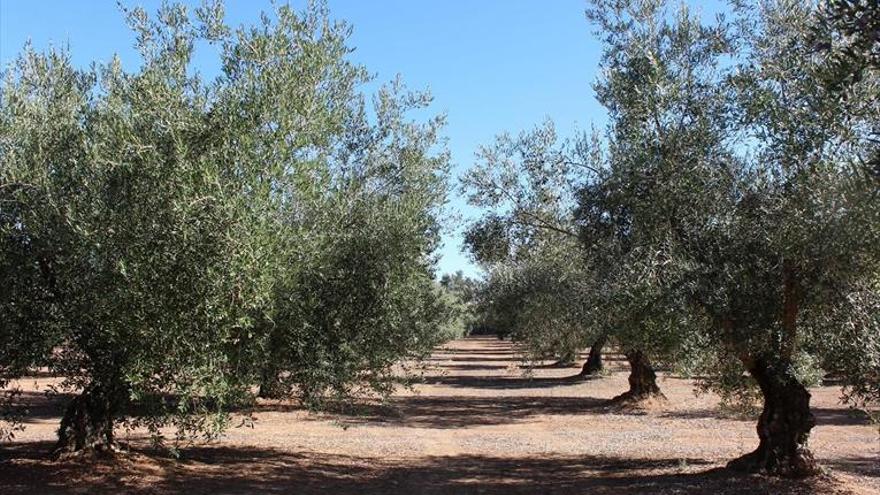 El futuro del germoplasma de olivo
