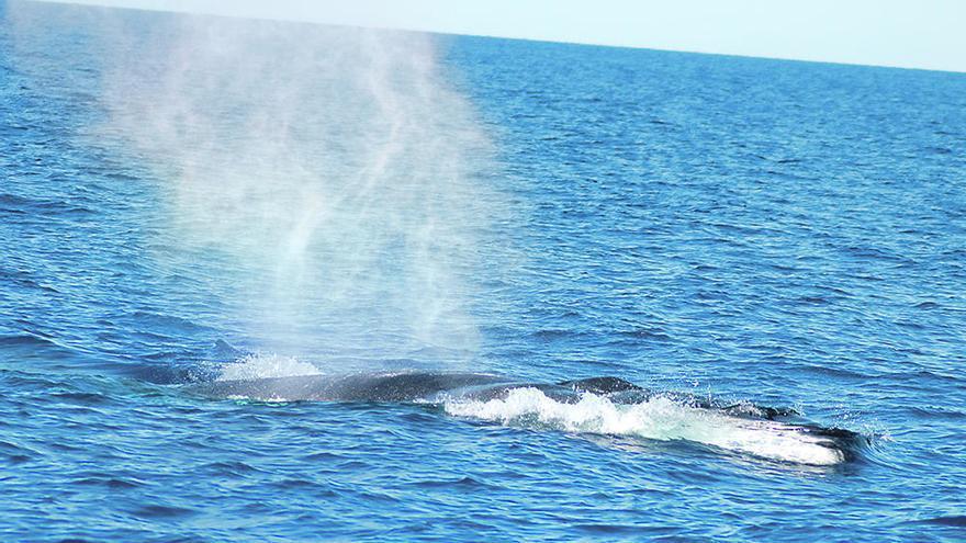 Ya están en Cartagena las ballenas rorcuales