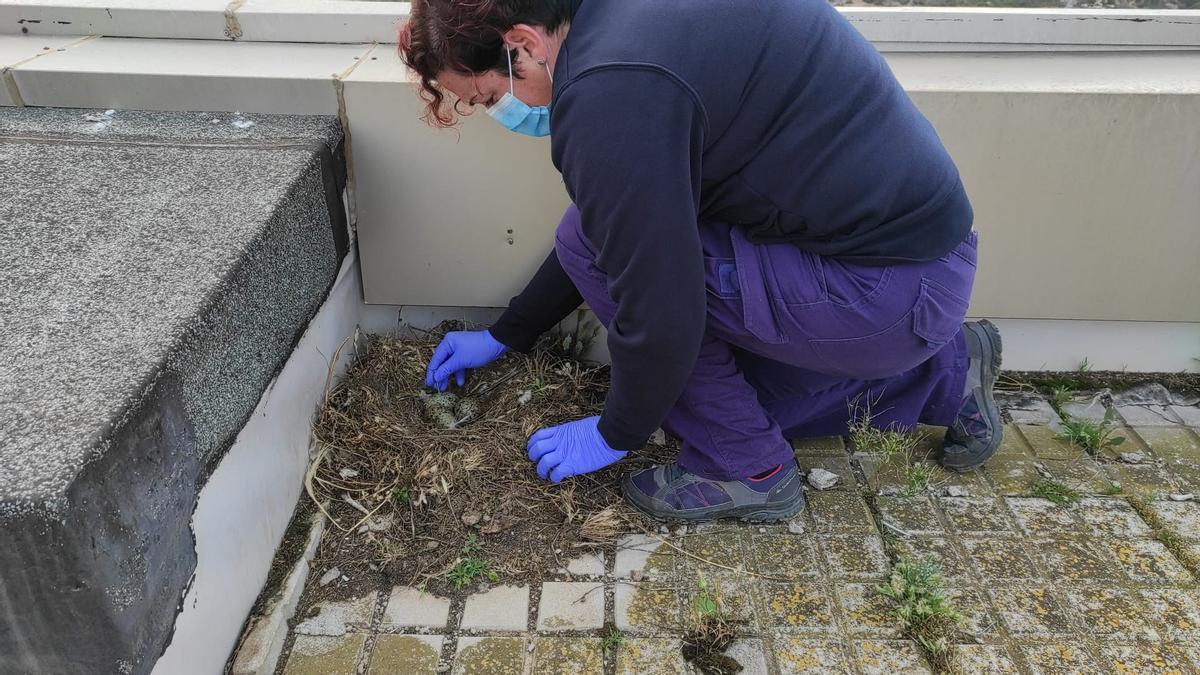 Una empleada municipal revisa un nido de gaviota.