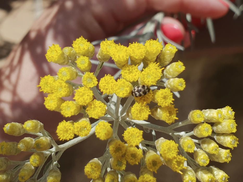 Tanarida. Les seves fulles joves són consumides a l'Europa central i a Anglaterra com a espècia per condimentar nombrosos productes de rebosteria. Les flors seques o fresques són un element decoratiu força utilitzat.