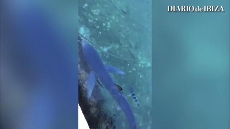 Un tiburón azul entra en el puerto de Formentera