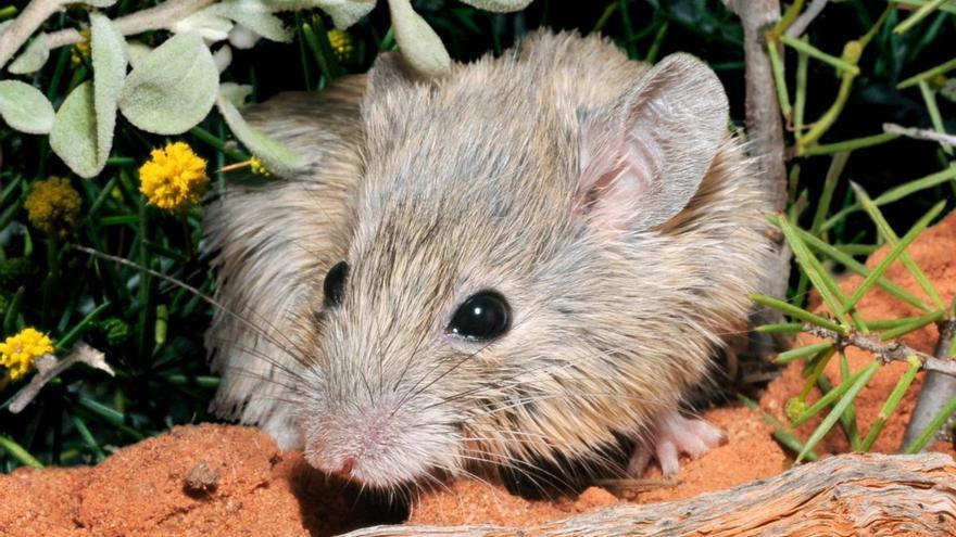 Una especie de ratón australiano 'resucita' 150 años después de su extinción