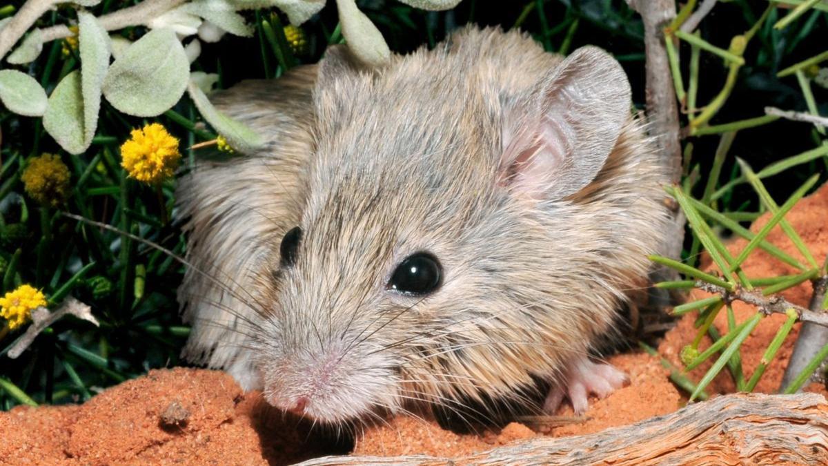 Encuentran un ratón australiano que se creía extinto.