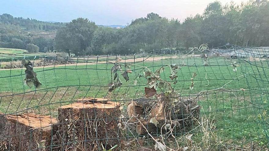 Petón do Lobo denuncia la tala de un carballo centenario en Xaxán