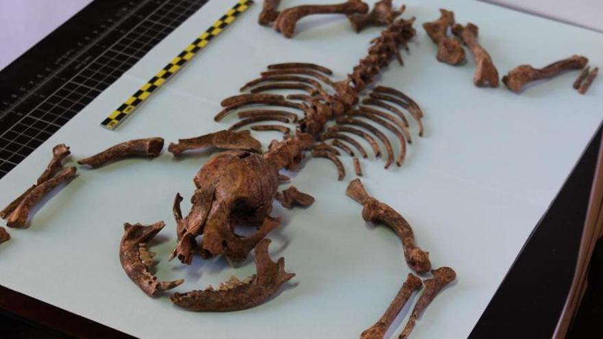En el Imperio Romano ya tenían 'perros miniatura' como animales de compañía