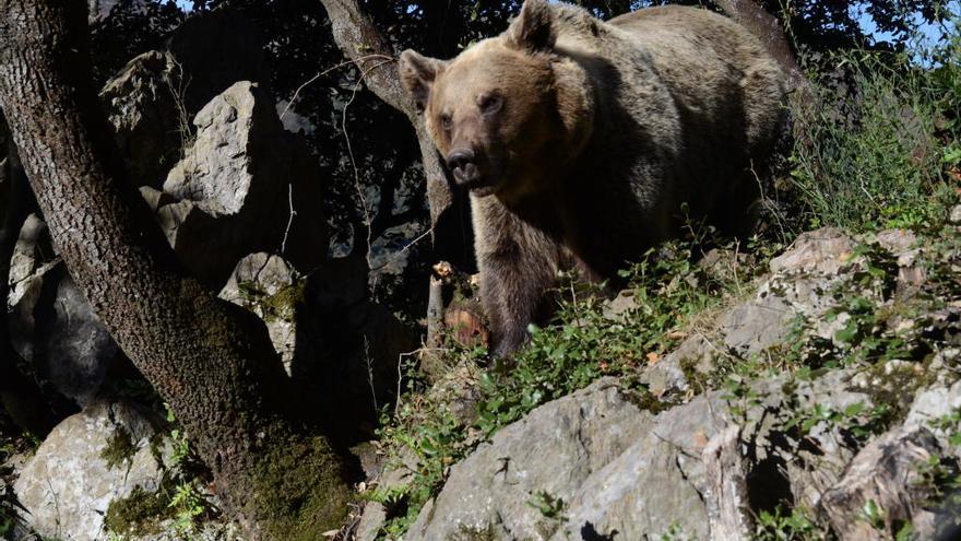 La población de oso alcanza los 41 ejemplares en los Pirineos, lejos de los 107 de la Cordillera Cantábrica