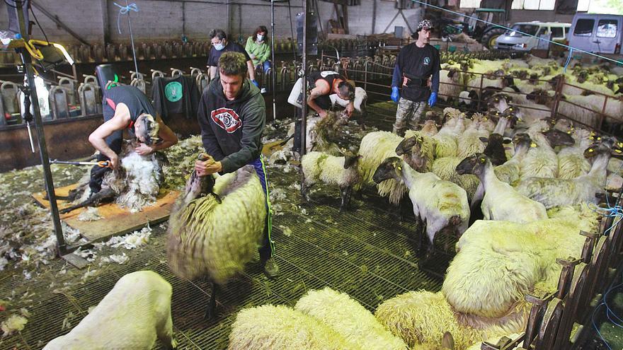 La esquila: 90 segundos por oveja a ritmo de techno
