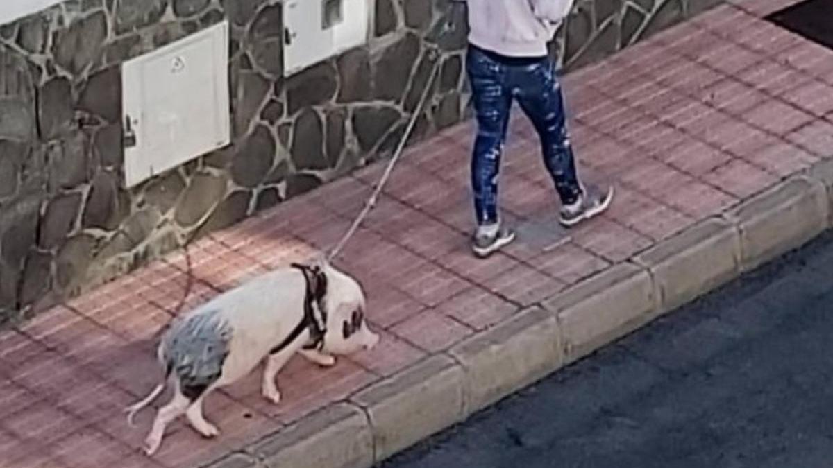 Pasea a su cerdo por Ciudad Jardín