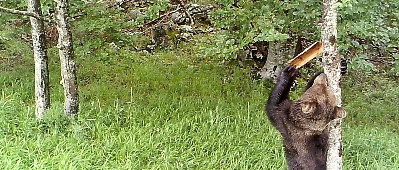 Uno de los osos captados por las cámaras de los investigadores en el momento en el que destapaba su marca.   Grupo de Investigación del Oso Cantábrico