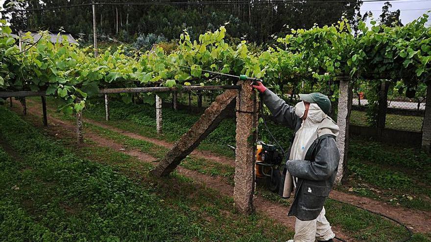 El mildiu afecta con fuerza el viñedo y los técnicos recomiendan más vigilancia