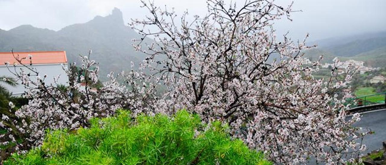 Un almendro con la flor blanca y el Bentayga entre brumas.