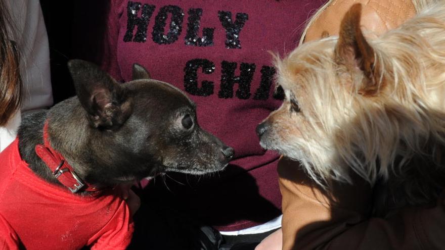 La bendición de animales por San Antón, suspendida