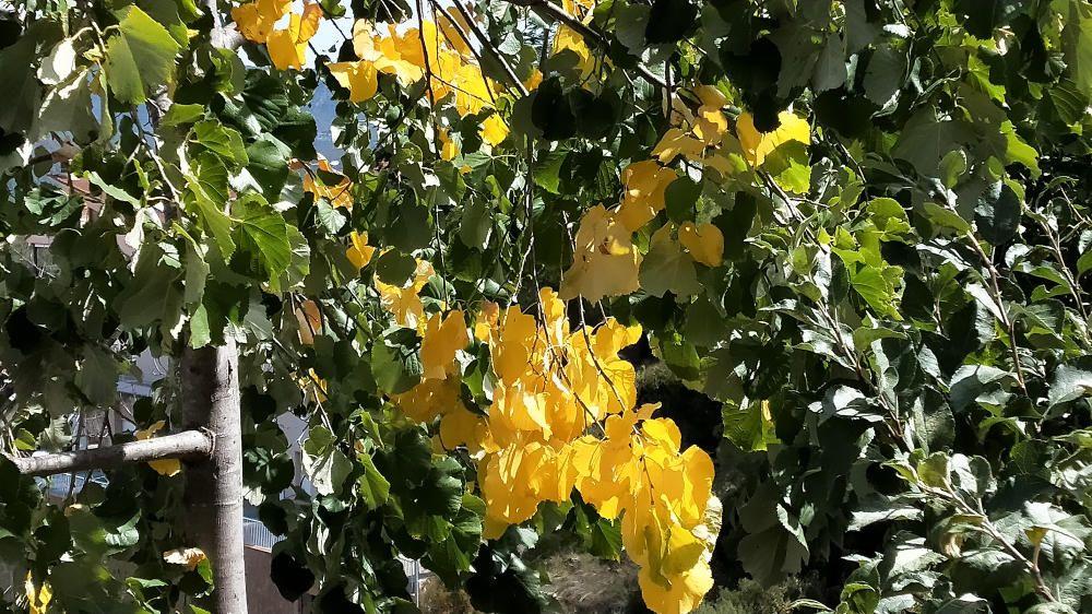 A poc a poc l'estiu se'n va. La tardor ja ens mostran en alguns arbres els seus colors.