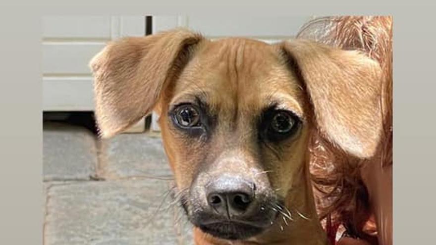 Ofrecen una recompensa de 1.500 euros por encontrar una mascota perdida ayer en Elche