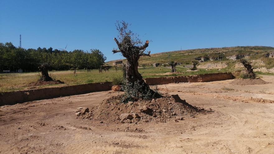 De Sevilla a Fuendetodos: el particular viaje de unos olivos