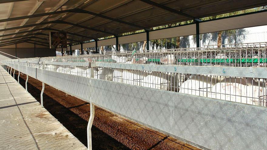 Ultimátum de Europa: los ganaderos murcianos deberán eliminar la cría en jaulas