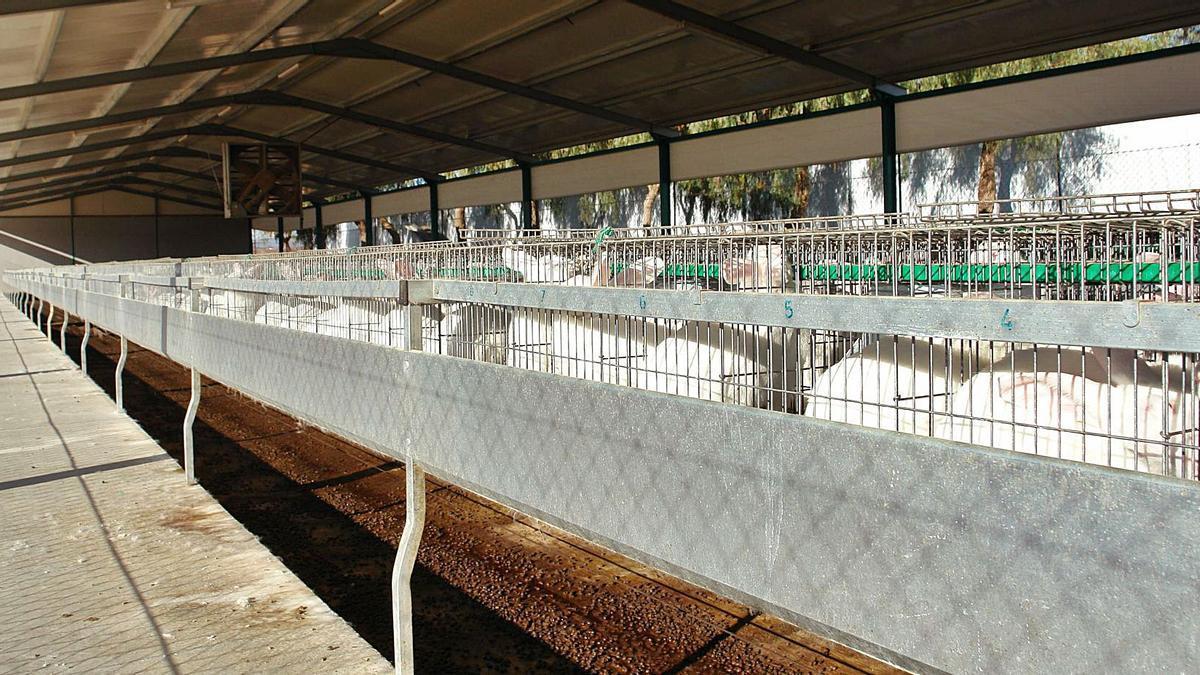 Ejemplares de conejos criados en jaulas, en una explotación ubicada en Fuente Álamo.