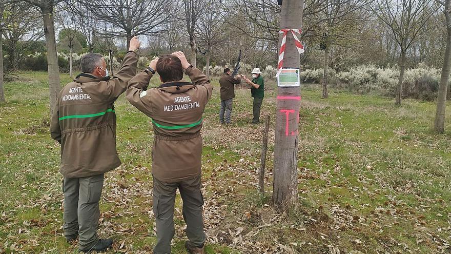 El torymus sinensis luchará contra la avispilla en 99 castañares de Sanabria