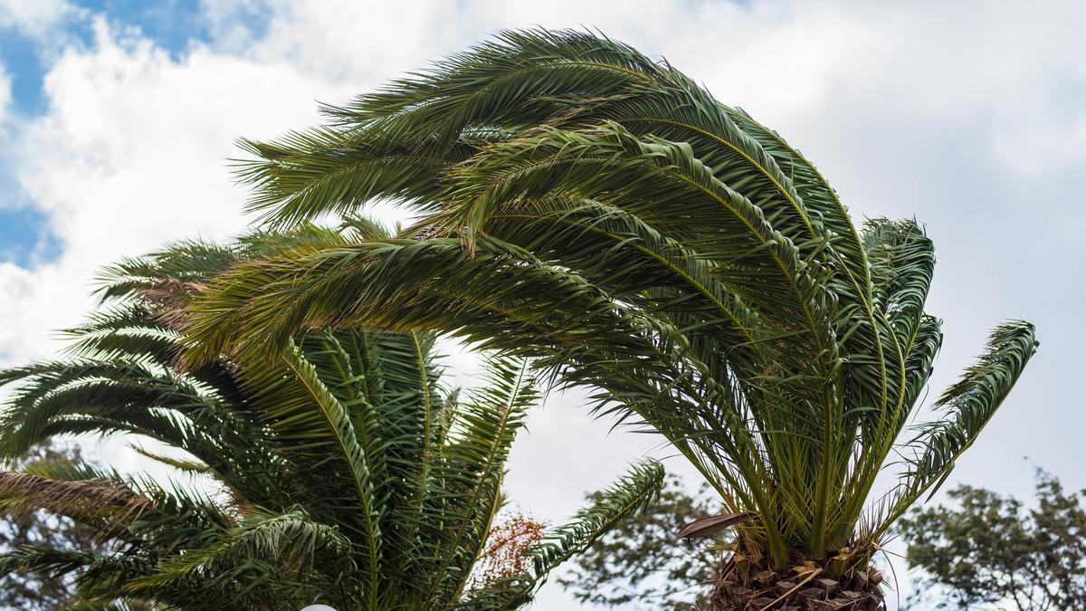 Palmeras durante una jornada anterior de fuerte viento en Tenerife.