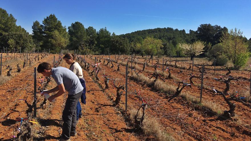 Agua y sal para salvar al viñedo