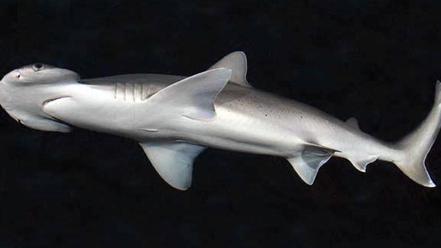 El acuario de la UMU trabaja en la instalación de un tanque de tiburones martillo